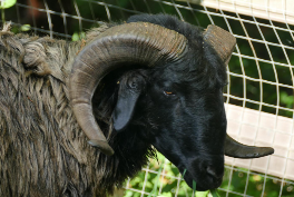 Karakul Sheep