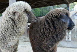 Hexenwald Ranch Merino Sheep