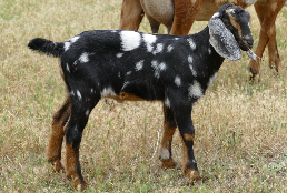 Mini Nubian Goat