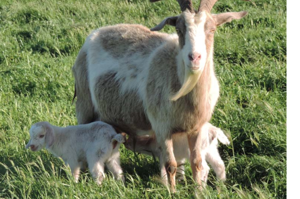 Kiko Goats Breeding Plan