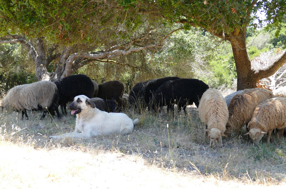 Navajo Churro Sheep Breeding Plan